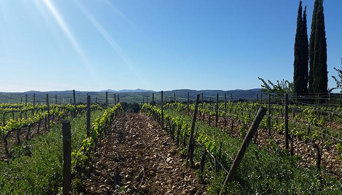 Weingarten von Cupano in Montalcino