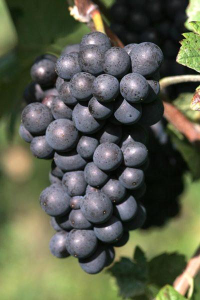 Pinot Meunier – weit mehr als das dritte Rad am Wagen