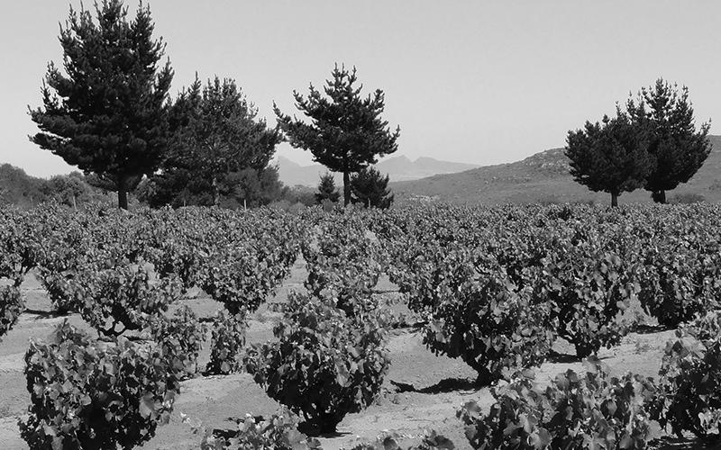 Skurfberg - Chenin Blanc Weinanbau in Südafrika