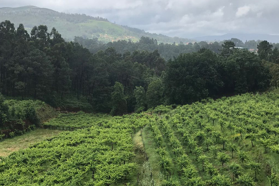 Weingarten von der Quinta de Soalheiro