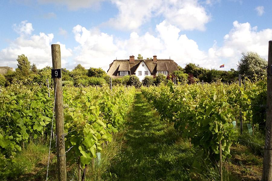Weingarten auf Sylt mit Haus im Hintergrund