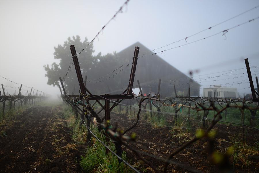 Matthiasson Vineyard - Der Nebel kühlt die Region in den Morgenstunden deutlich ab.