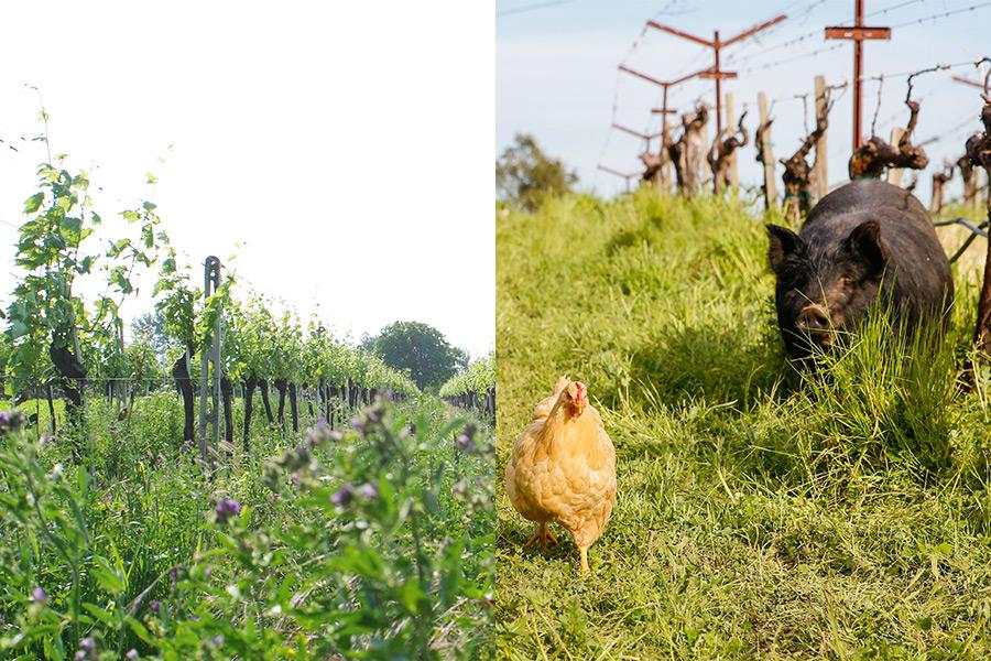 Zwei Fotos die Biodiversität im Weingut zeigen