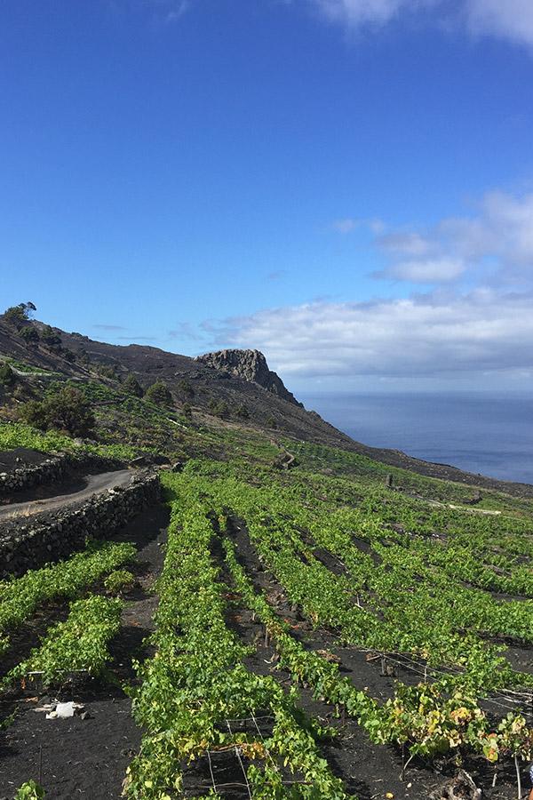 Die Weingarten auf La Palma von Bodega Matias i Torres auf vulkanisch geprägten Böden und mit Aussicht.