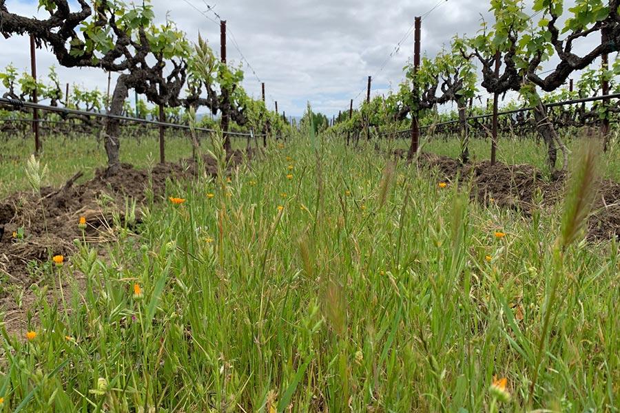 Naturbelassener Weingarten