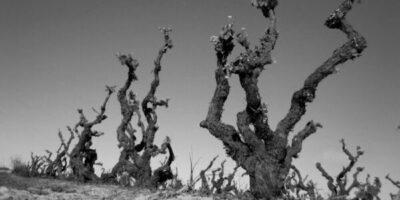 Alte Reben – Eine Frage der Balance