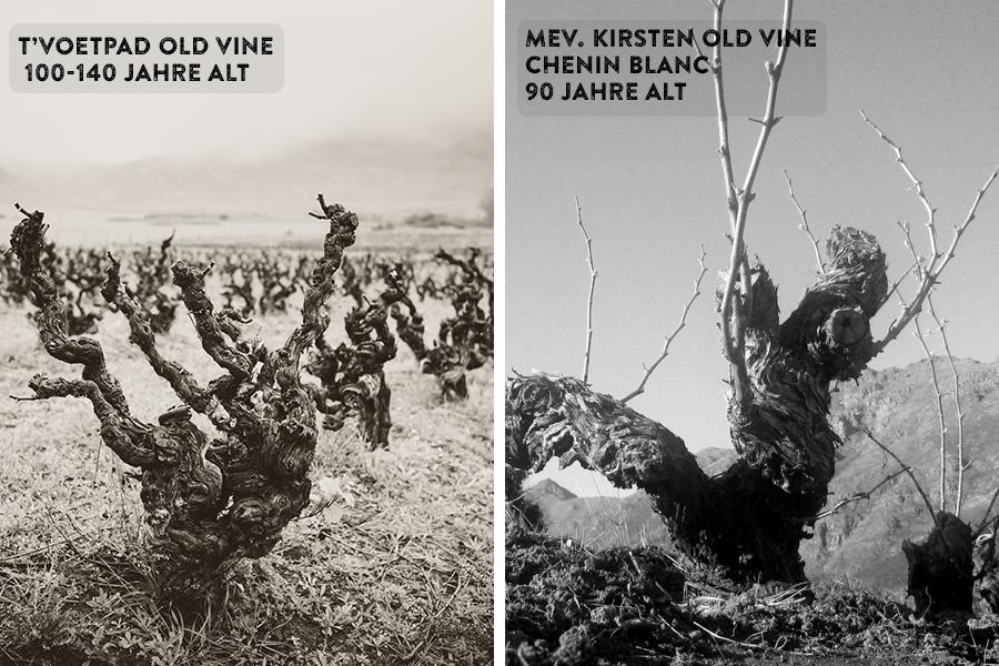 Alte_reben_Mev.-Kirsten-Old-Vine-Chenin-Blanc-90-years-of-age