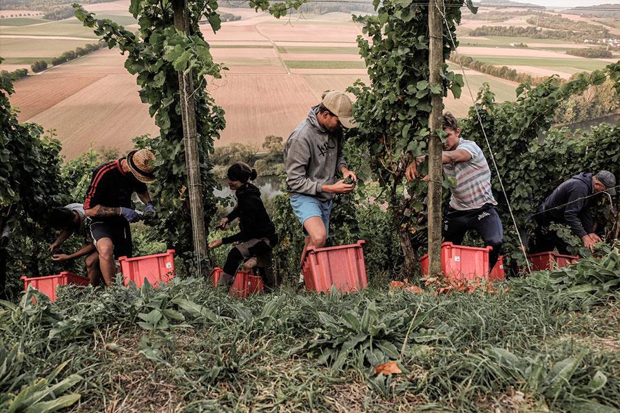 Weingut am Stein arbeiten mit der Mannschaft im Weinberg